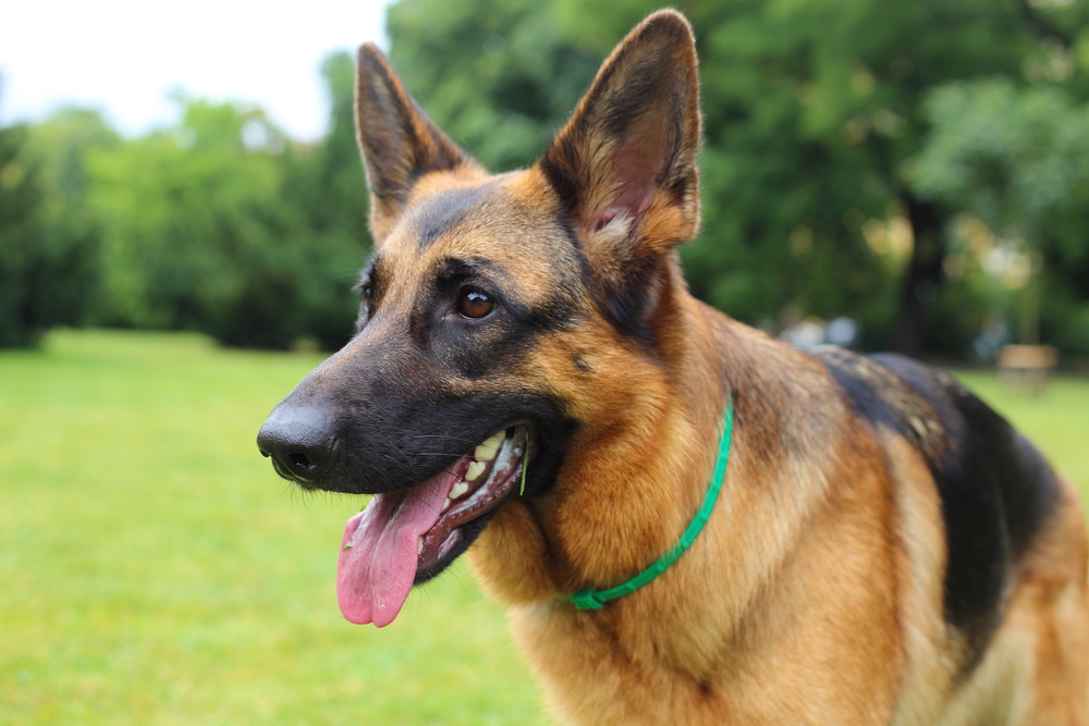 Can Dogs Detect Human Prostate Cancer?
