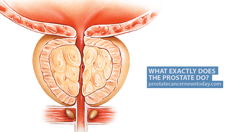 what exactly does the prostate do? | prostate cancer news today, Human Body